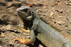 Iguana looking up. Royalty Free Stock Photo