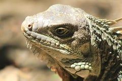 Iguana looking up. Royalty Free Stock Image