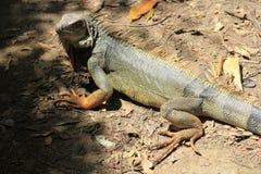Iguana looking up. Royalty Free Stock Photography