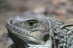 Iguana looking up. Royalty Free Stock Photos