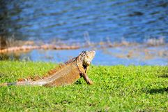 Iguana looking at water Stock Photo