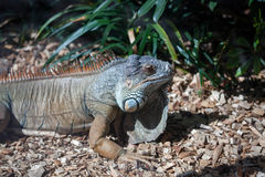 Iguana at Loro Parque Zoo Stock Image