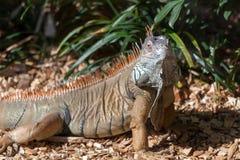 Iguana at Loro Parque Zoo Stock Photos