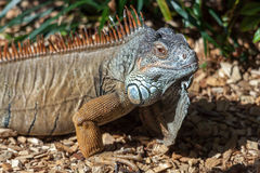 Iguana at Loro Parque Zoo Royalty Free Stock Photography