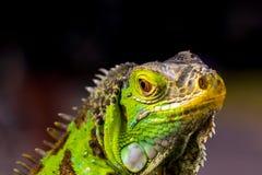 Iguana los lagartos grandes imagen de archivo