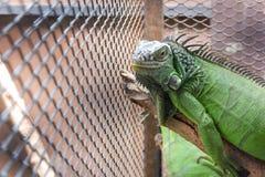 Iguana lub zieleni iguana w klatce Obraz Royalty Free