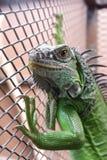 Iguana lub zieleni iguana w klatce Fotografia Stock