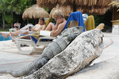 Iguana lying on a rock Stock Photos