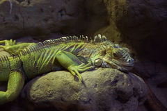 Iguana lying on the stone. Royalty Free Stock Images