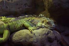 Iguana lying on the stone. Royalty Free Stock Images