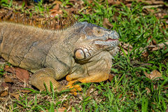 An iguana lying in the sun Royalty Free Stock Photos