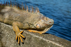 An iguana lying in the sun Royalty Free Stock Photography