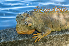 An iguana lying in the sun Royalty Free Stock Photo