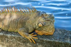 An iguana lying in the sun Stock Image
