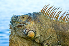 An iguana lying in the sun stock images