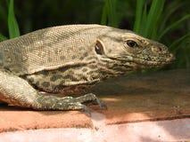 Iguana macchiata in sito antico Sri Lanka fotografia stock libera da diritti