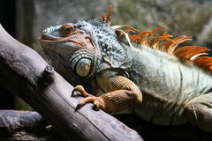 Iguana madura Imagens de Stock Royalty Free