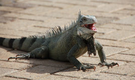Iguana. Making fun at us royalty free stock photography