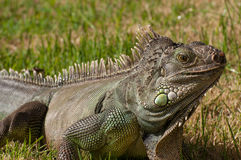 Iguana. Male iguana in a caribbean garden Royalty Free Stock Photography