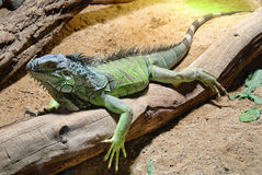 Iguana. Male Green Iguana, taken in prague zoo Royalty Free Stock Images