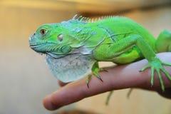 Iguana on man hands Royalty Free Stock Photo