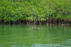 Iguana and Mangrove trees. An iguana swims in front of mangrove trees in the Great White National Wildlife Refuge, Key West, Florida.  Image taken on August 17 Stock Photography