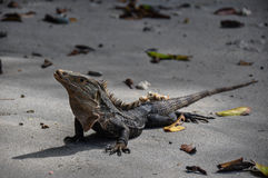 Iguana in Manuel Antonio National Park, Costa Rica Royalty Free Stock Photography
