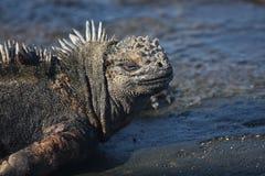 Iguana marina Fotografia Stock