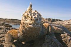 Iguana marina Fotos de archivo libres de regalías