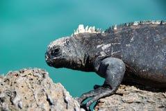 Iguana marina fotografía de archivo