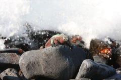 Iguana marina de las Islas Gal3apagos y mares agitados Fotos de archivo libres de regalías