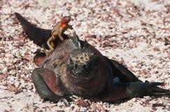 Iguana marina de las Islas Galápagos con un lagarto de la lava. Imágenes de archivo libres de regalías