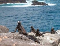 Iguana marina di Galapagos sulle rocce vulcaniche Immagine Stock