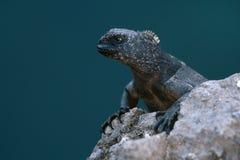 Iguana marina Galapagos Fotografia Stock Libera da Diritti