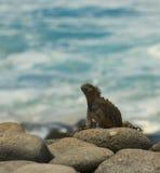 Iguana marina nella spiaggia fotografia stock