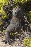 Iguana marina nelle isole Galapagos Immagini Stock Libere da Diritti