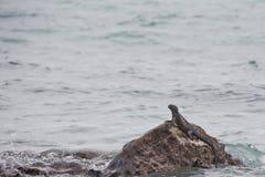 Iguana marina que sube fuera del agua en una roca Fotos de archivo