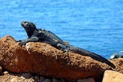 Iguana marinha Fotos de Stock