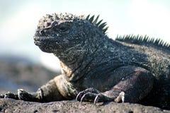 Iguana marinha Foto de Stock Royalty Free