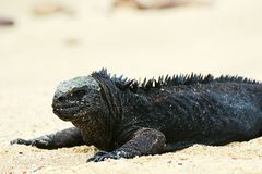 Iguana marinha 1 foto de stock royalty free