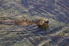 Iguana marinha Fotografia de Stock Royalty Free