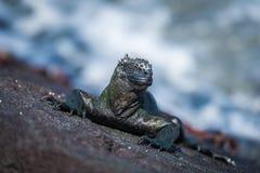 Iguana marinha e diversos caranguejos de Sally Lightfoot imagens de stock