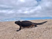 Iguana marinha em Ilhas Galápagos fotografia de stock