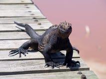 Iguana marinha em Ilhas Galápagos fotografia de stock royalty free
