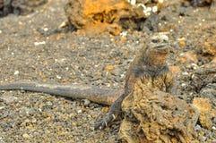 Iguana marinha em uma rocha fotos de stock