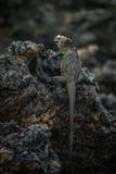 Iguana marinha empoleirada em rochas vulcânicas pretas imagem de stock royalty free