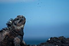 A iguana marinha excreta/água de sal sneezing Foto de Stock