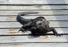 Iguana marinha Galápagos na ponte fotos de stock royalty free
