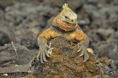 Iguana marinha na ilha de San Cristobal imagens de stock royalty free