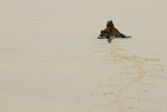 Iguana marinha na praia foto de stock